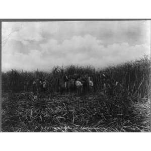 Group of men cutting sugar cane,New Orleans vicinity,LA